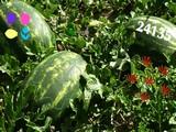 Watermelon Land Escape