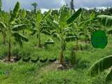 Banana Farmland Escape
