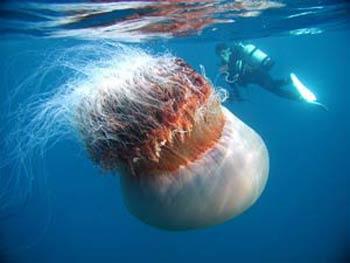 Морские монстры - Echizen kurage
