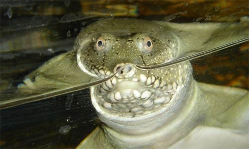 Черепахи - правнуки динозавров