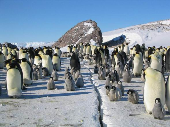 Пингвины и пингвинята