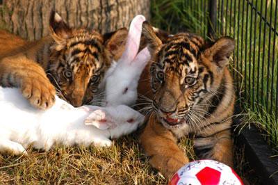 Тигрята и кролики : Умильные фото