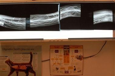 Анаконда на операционном столе