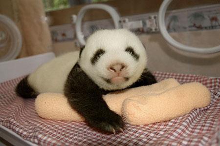 Малыши гигантской панды