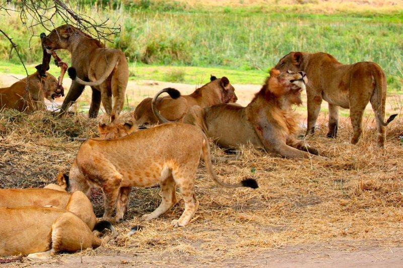 Охота львов на зебру