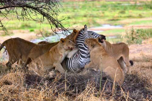 Пообедать зеброй