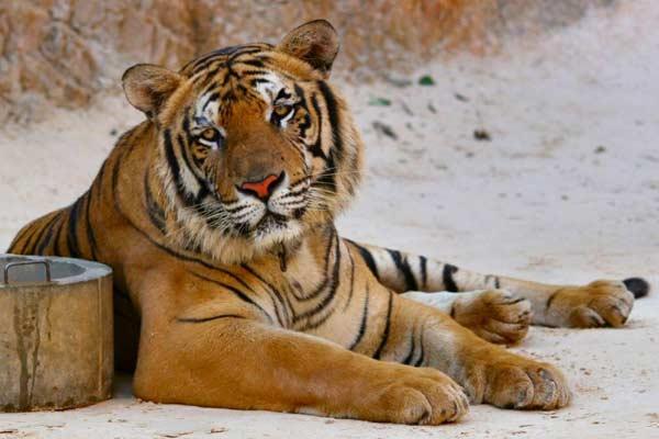 У тигра в клетке