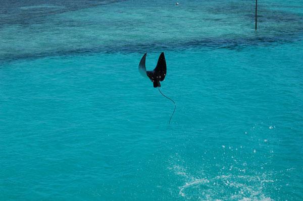 Скаты тоже умеют летать