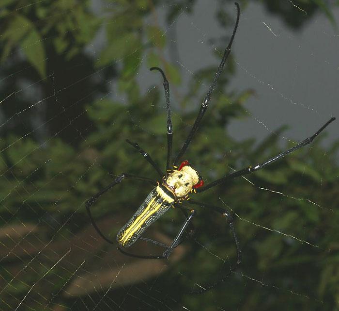 Вьетнамские пауки