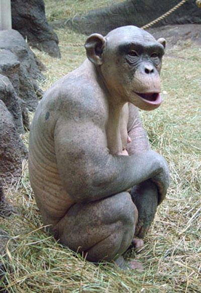 Лысая обезьяна