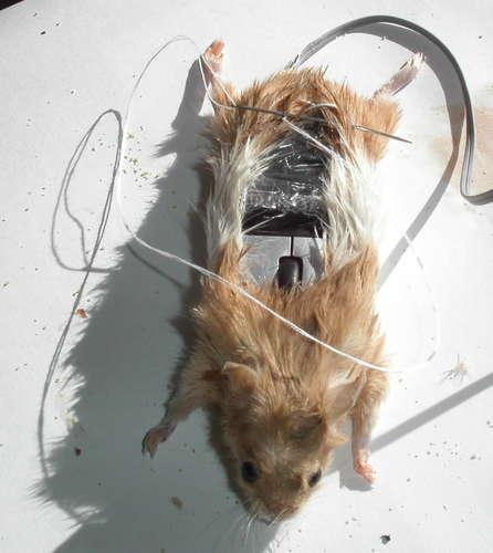 Настоящая мышь