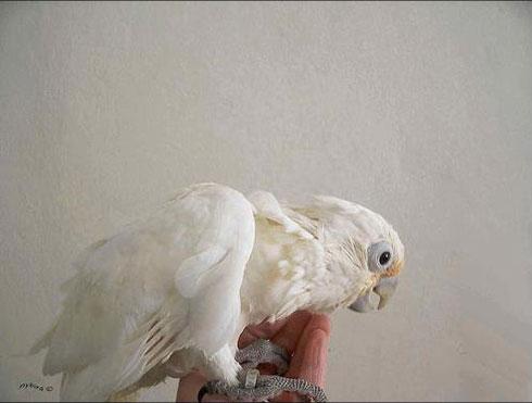 Как растет попугайчик