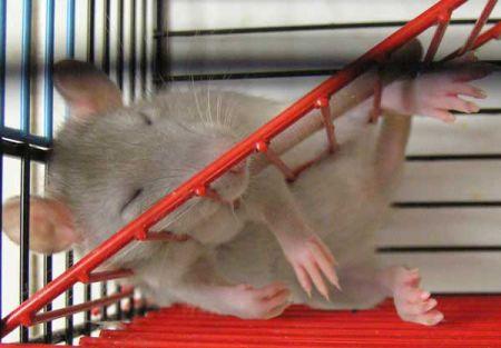 http://www.doodoo.ru/image-2007/12-28-rats/rats-28.jpg