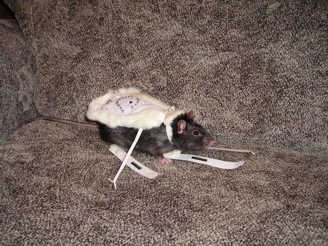 Картинки крыски