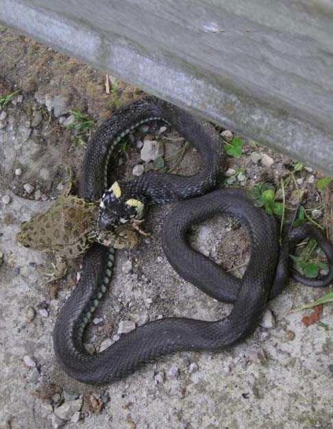 как змея ловит лягушку