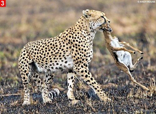 Гепард и газель