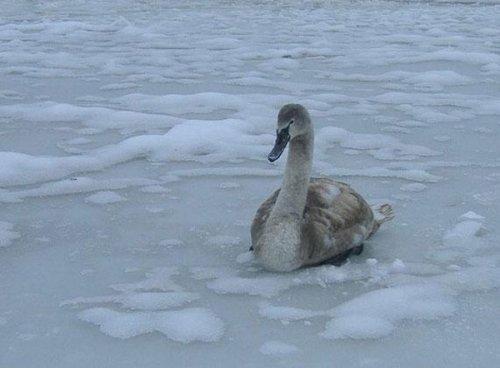 Лебедь в плену