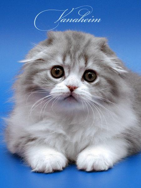 Картинки с котятами - Страница 3 Scottish-fold-045