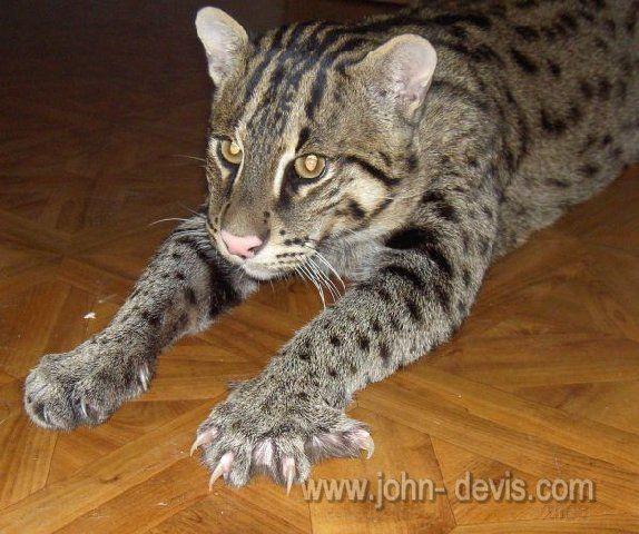 вивверский кот рыболов