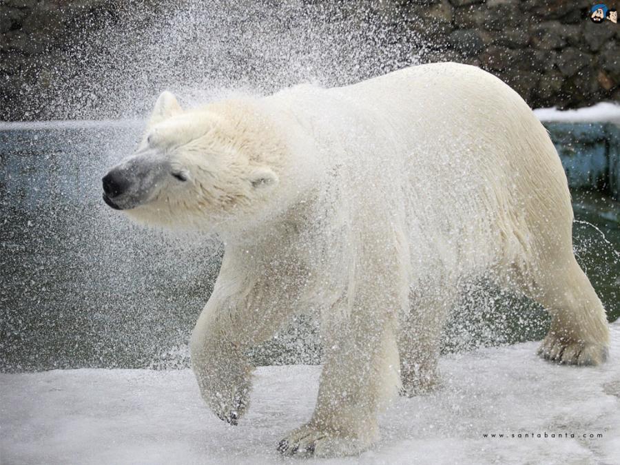 جفتري خرس قطبي Много неудач Бог в ответе за наше