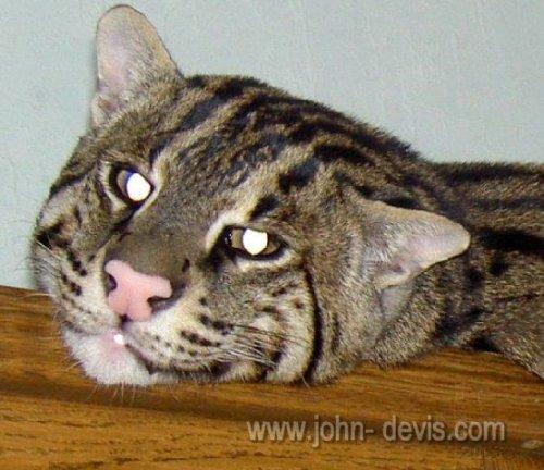 порода кошек рыболов виверровый