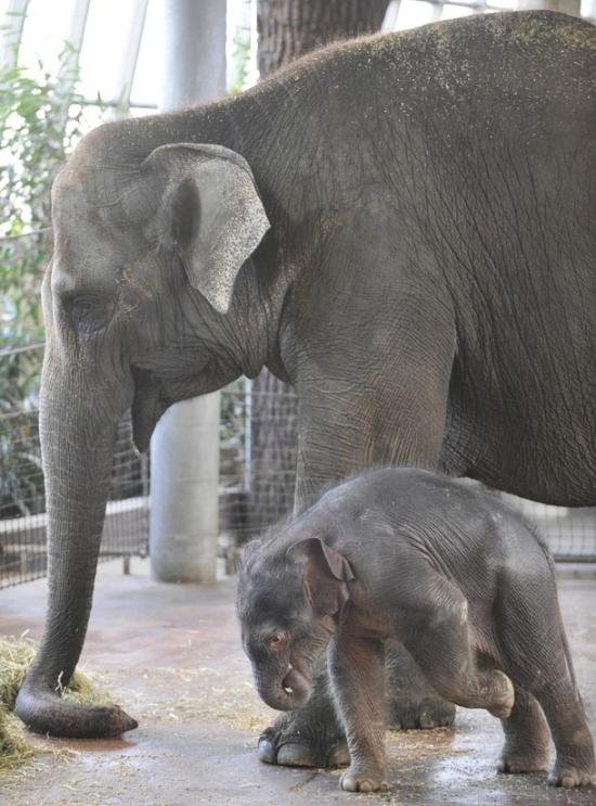 柏林动物园上周刚出生的超可爱小象