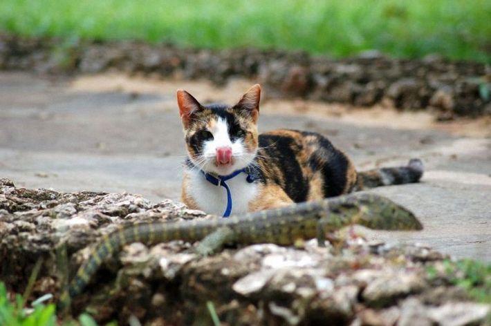 Кот против ящерицы
