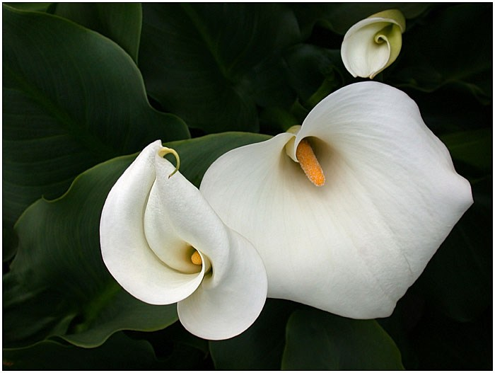 Фото цветка коалы