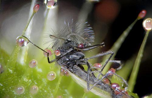 название растения которое ловит насекомых