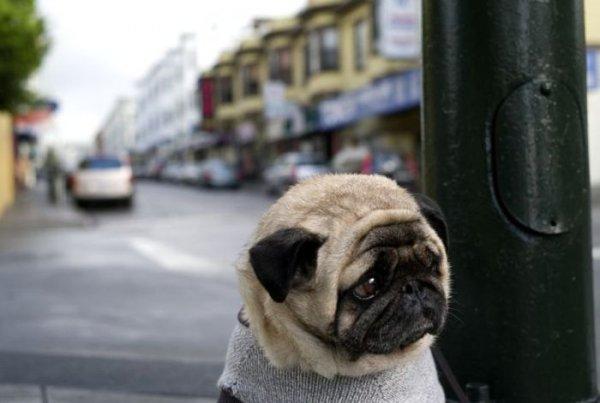 Самый грустный мопс в мире