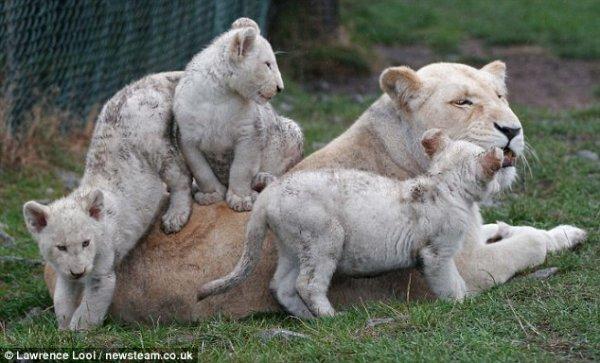 Белые львята