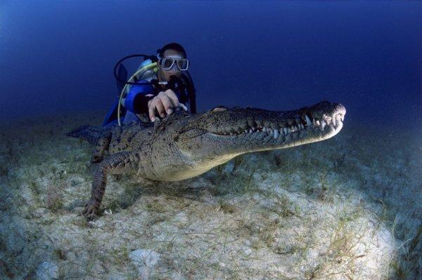 Напару с крокодилом