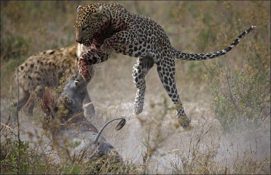 леопард анимация