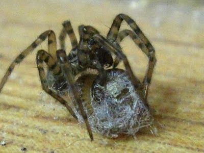 фото паук сороконожка