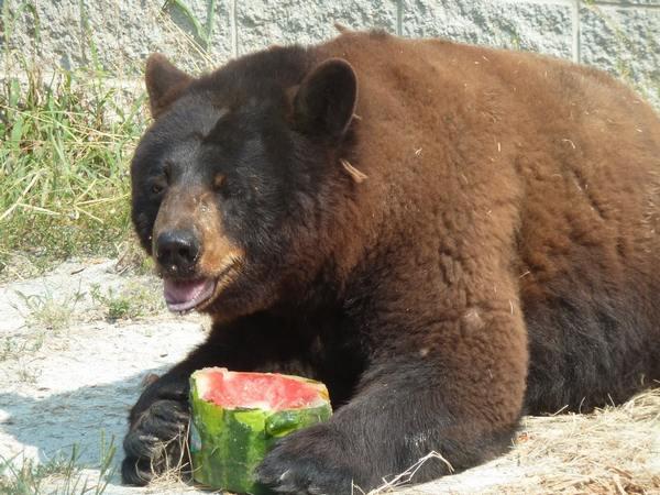 Животные любят арбузы