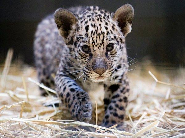 柏林动物园,刚出生的美洲虎