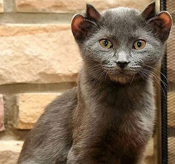 Четыре уха у кота