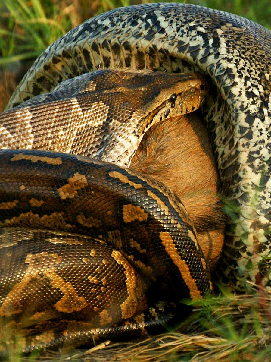 Фотографом когда африканский питон глотает целую антилопу гну.Это п…