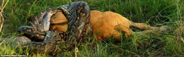 Питон проглотил антилопу