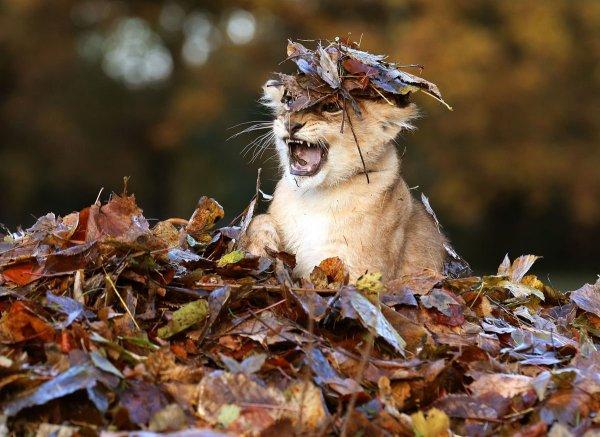 Львенок играет с листьями