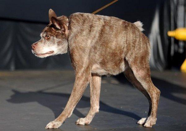 Самая некрасивая собака