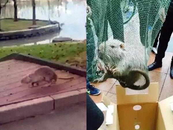 Гигантская крыса напугала студентов