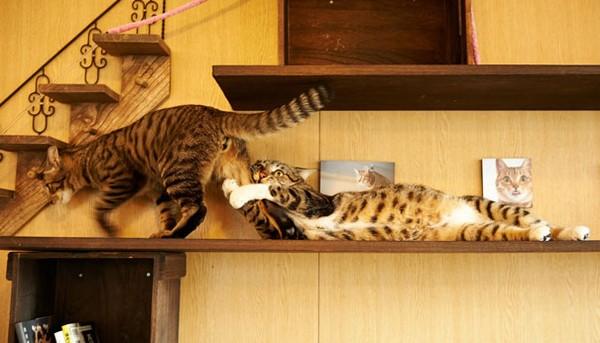 Кошачьи пары