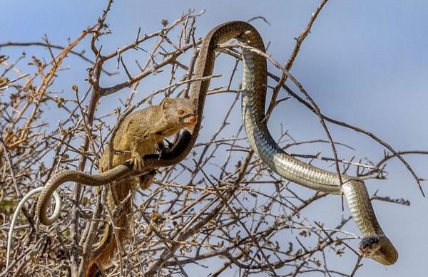 Мангуст и змея