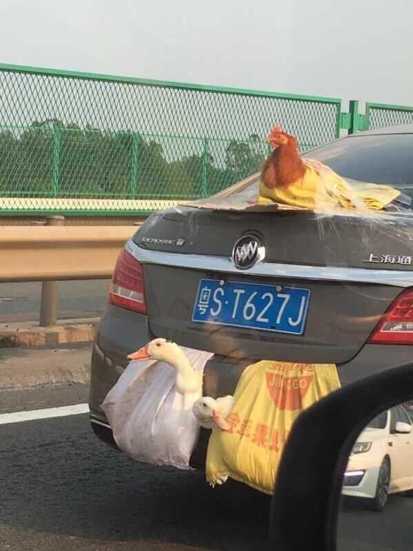 Перевозка птиц по-китайски