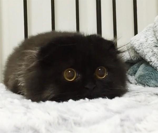 Глазастый черный котенок