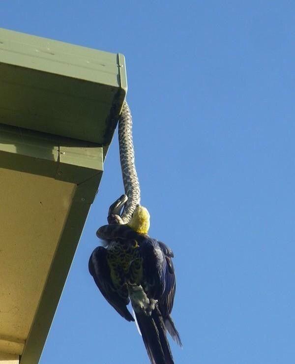 Питон проглотил попугая