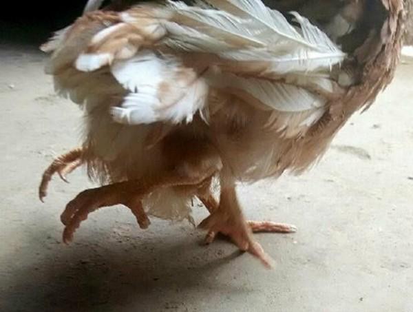 Курица с чектырьмя лапами