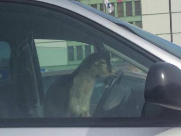 Козёл за рулём