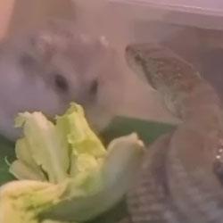 Змея и хомячок - Видео